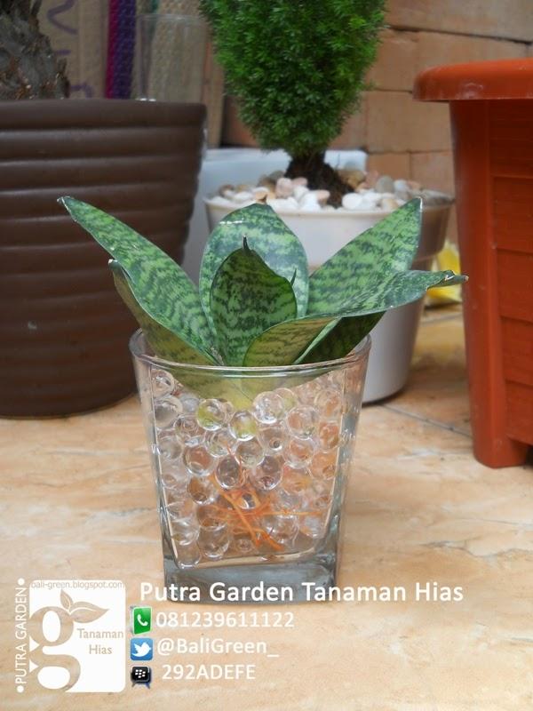 penggunaan hidrogel untuk tanaman hias sansevieria bali hidrogel warna ...