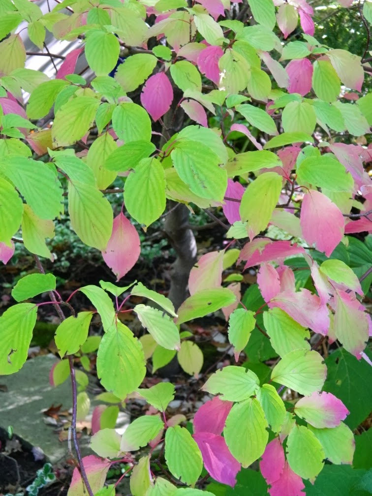 Cornus alternifolia Pagoda dogwood fall foliage by garden muses-a Toronto gardening blog