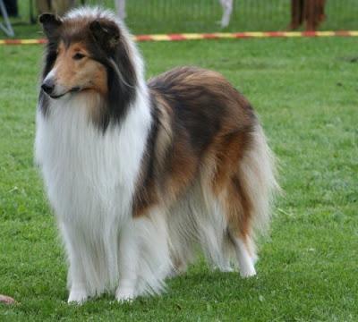 Rough-Collie-Dog