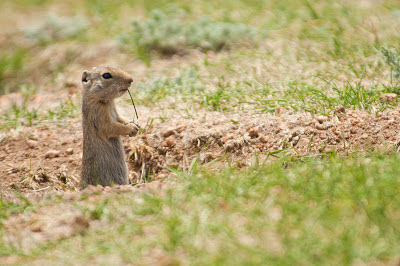Prairie Dog, Florissant National Monument