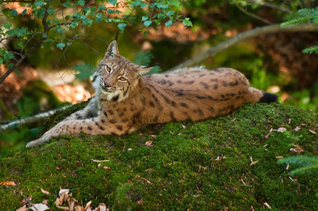 19. Lynx by Anna Skalova