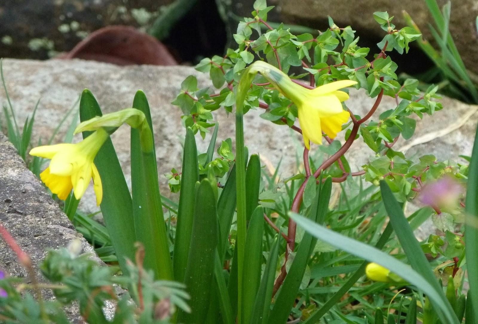 Rockery daffodils