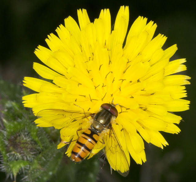 Marmalade hoverfly, Episyrpus balteatus, male, on a flower of Bristly Oxtongue, Picris echioides, at the edge of Hayes Station car park, 26 July 2011.