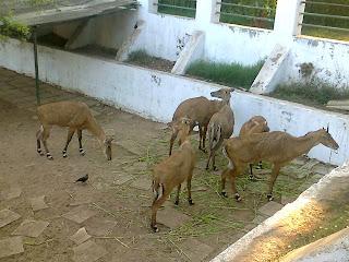 nilgai kankaria zoo