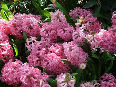 2012 Spring Flower Show mass of pink hyacinths by garden muses: a Toronto gardening blog