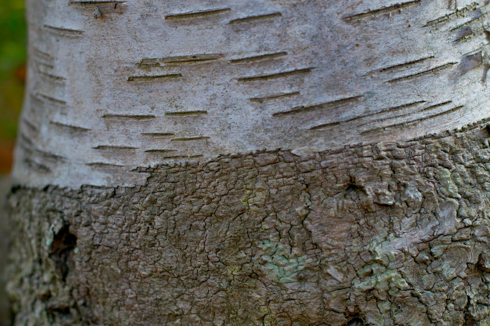I love birch trees, I love the bark, the textures, the colors...