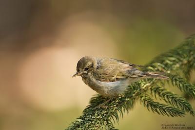 greenish warbler, green-leaf warbler, green leaf warbler, indian birds, birding in india, birds of karnataka, angad achappa, wildlife photography, bird photogrpahy