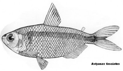 mojarra Astyanax fasciatus