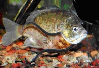 Meski Kecil, Ikan Ini Paling Ditakuti Oleh Orang Brazil