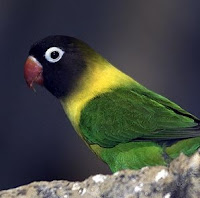 Suara Kicauan Untuk Masteran Lovebird