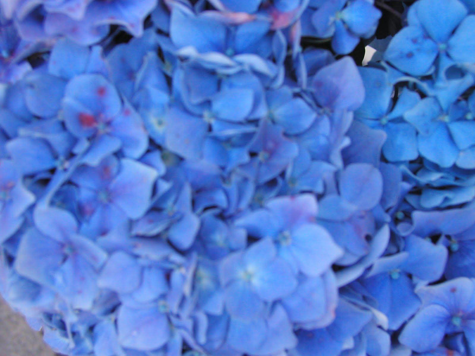 Hydrangea More Than Just A Pretty Face Flower Talk