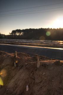 fehér spárga bakhát spárgaföld föld halom nap napfelkelte hdr spárgaszedés spárgaszúrás spárgaszüret