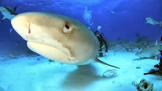 Jim Abernethy discusses with ABC News about diving with tiger sharks in the Bahamas