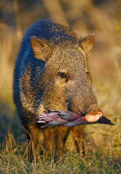 javalina original photo credit: Jeff Parker