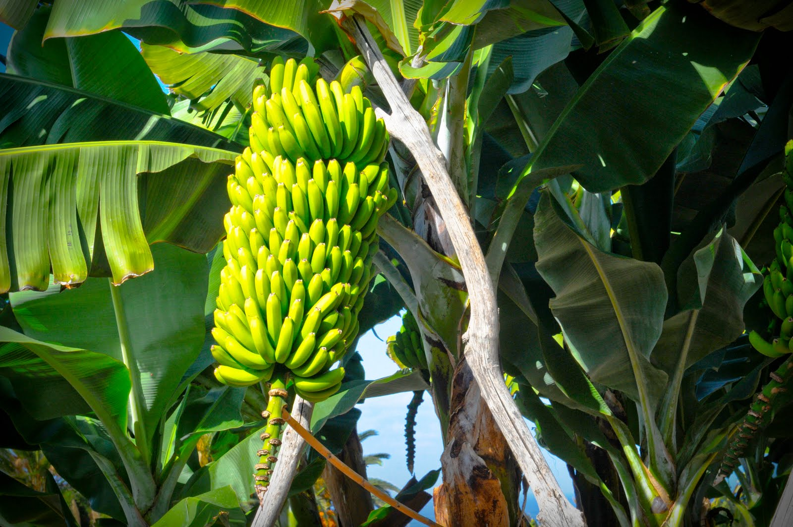 Plantas Curativas y Medicinales: El Plátano Un Alimento