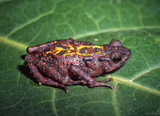 Hasil gambar untuk bleeding toad