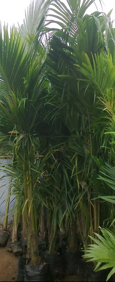 Ready Made Coconut Plant Around 2 yrs Old Plants, We Offers Coconut in
