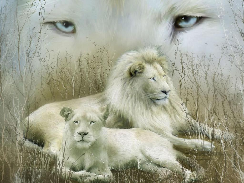 the source for picture cute white lions hd wallpapers