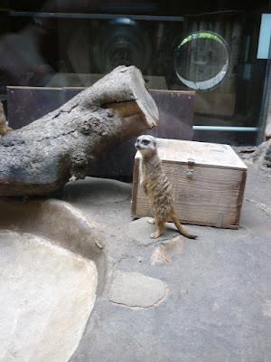 surikato ĉe la bestoĝardeno de Ueno