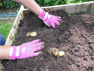 Die Kartoffelernte beginnt!