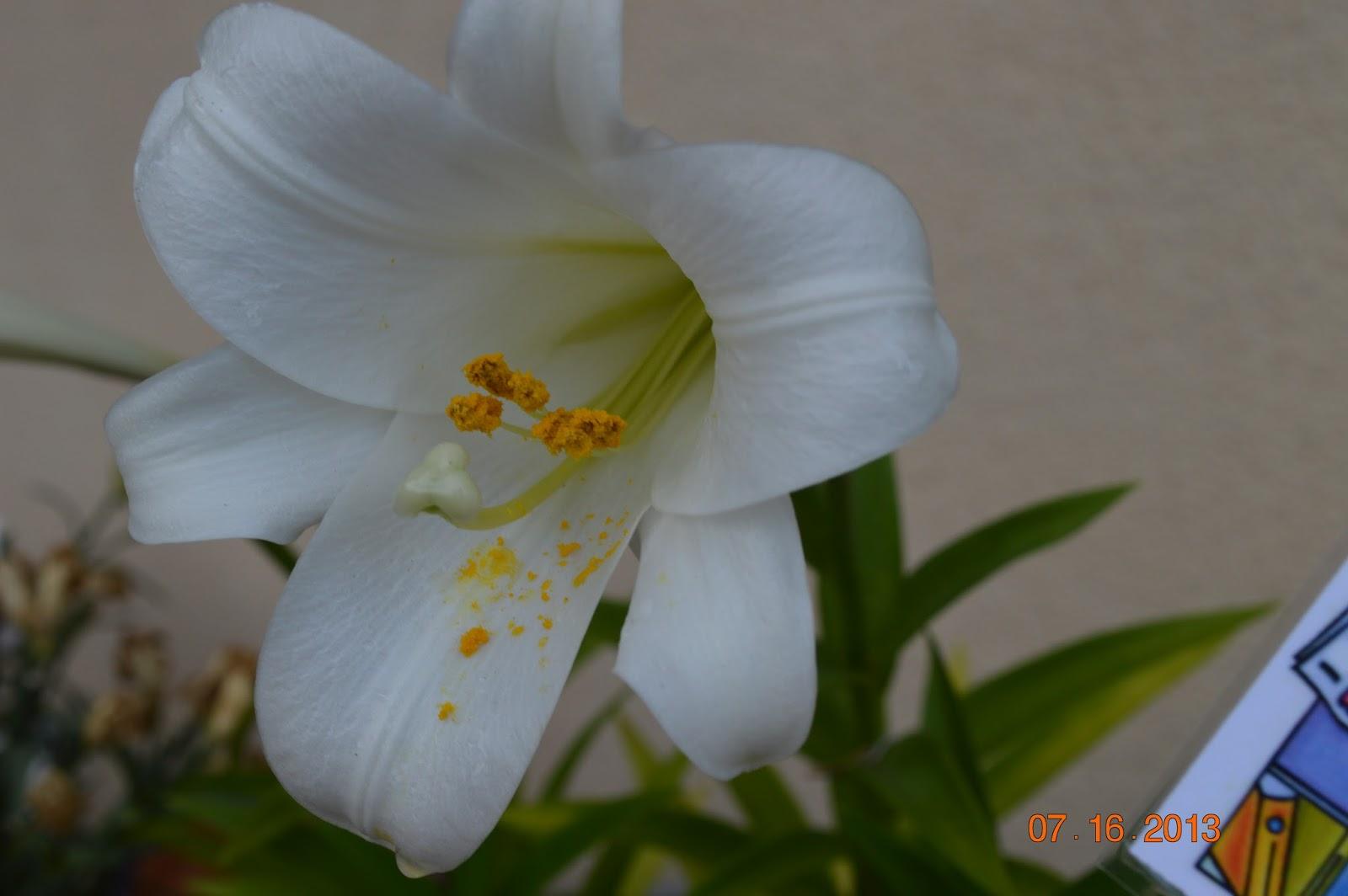 Pollen & Still Life - Looking Glass