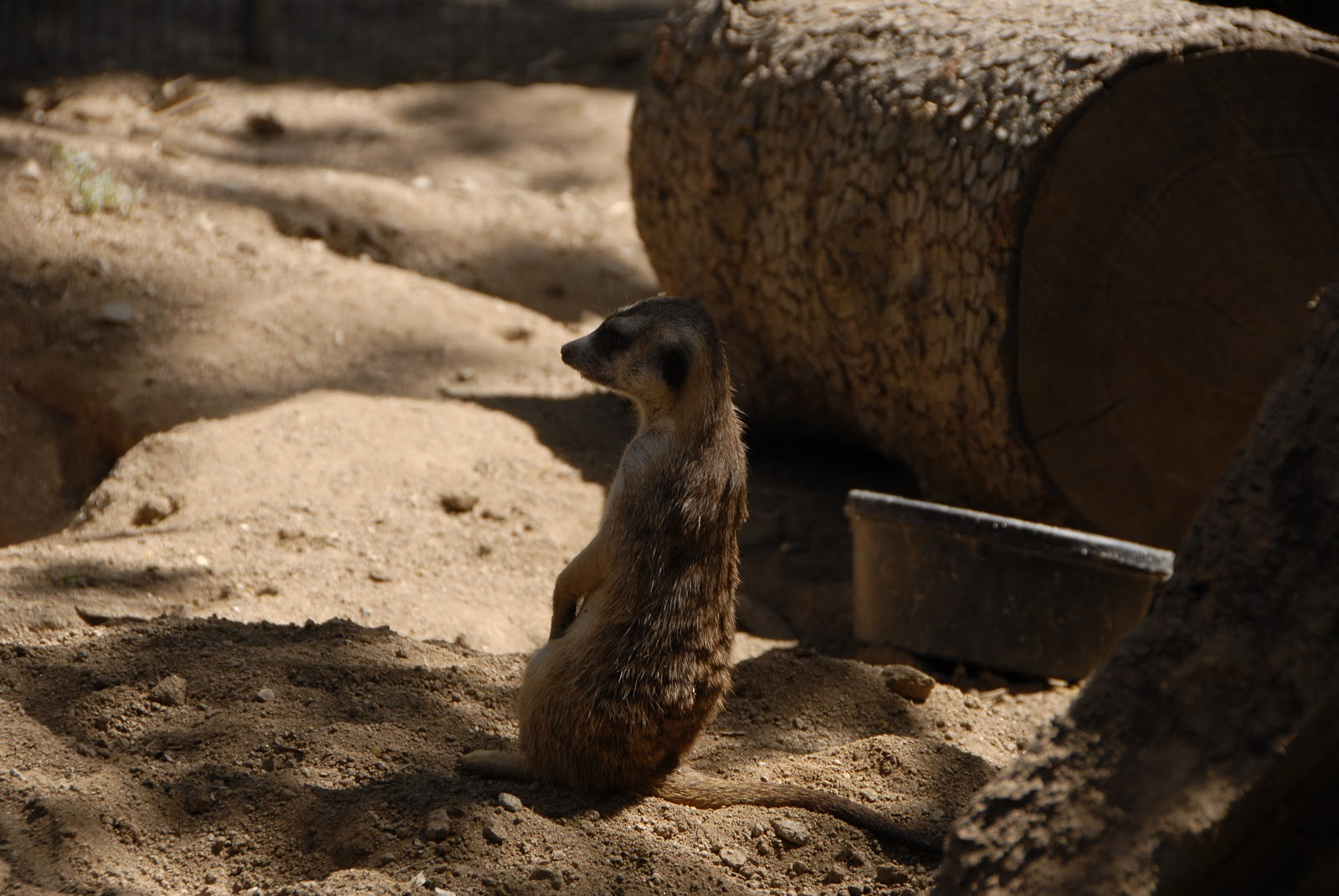 Meerkat at the San Diego Wild Animal Park