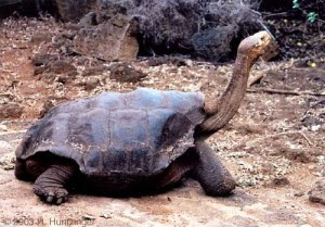 1 Pinta%2BIsland%2Btortoise 10 of the Worlds Rarest Animals