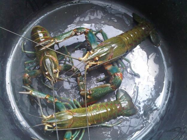 Suka Suka Begini Niih Cara Budidaya Lobster Air Tawar