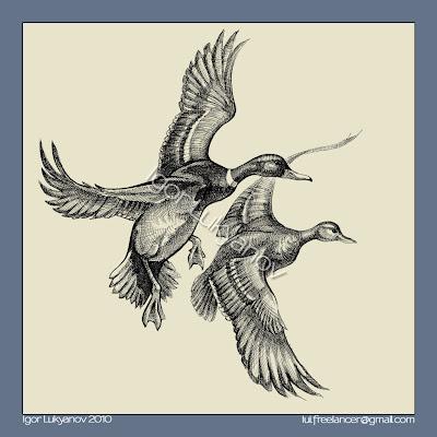 Mallards (wild ducks) illustration, drawing by Igor Lukyanov (cross-hatching)
