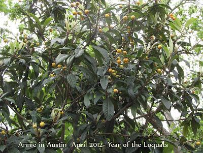 Annieinaustin, loquat has fruit