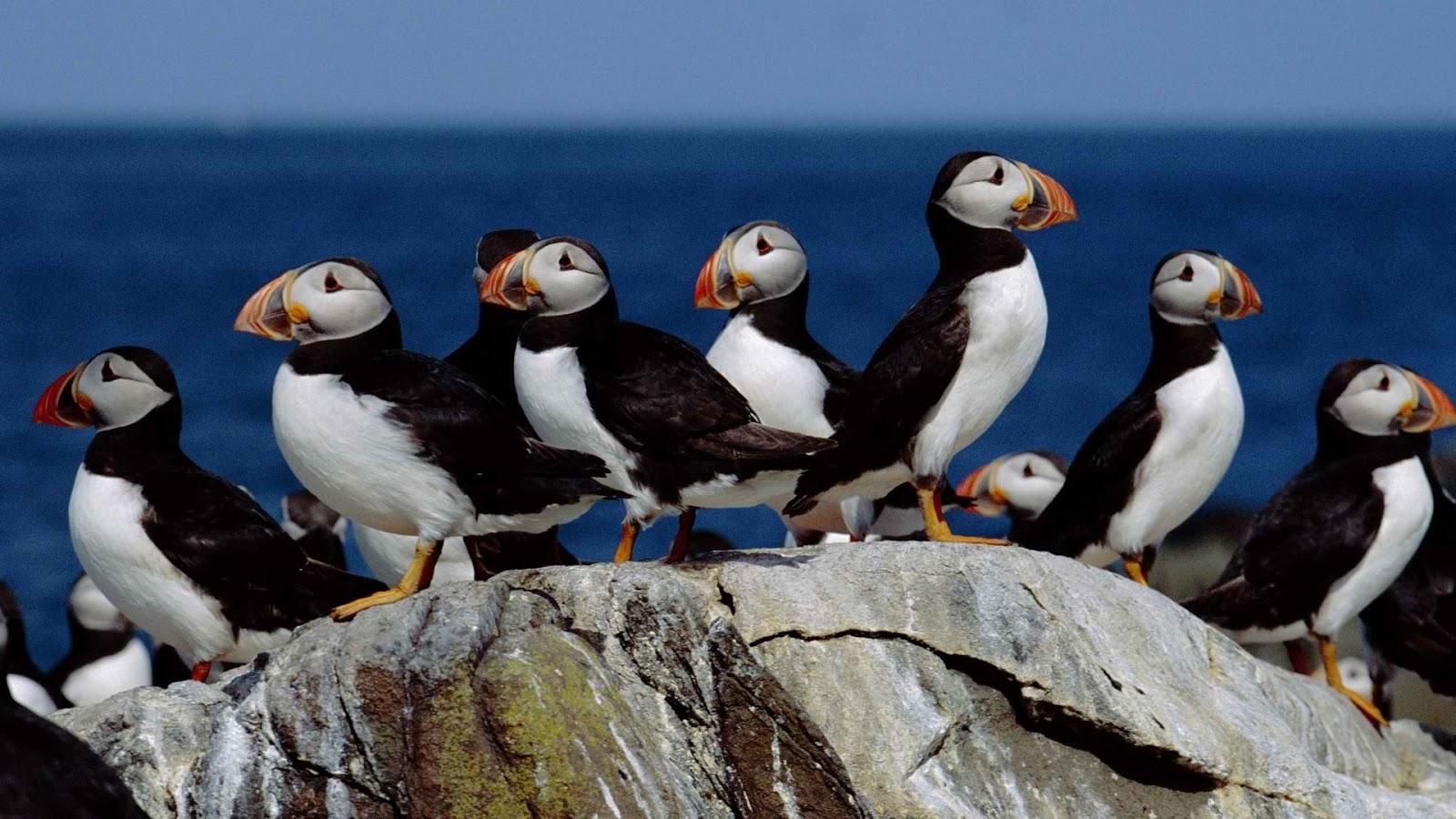 Seabird Atlantic Puffin miraculous wallpaper Animals & Birds