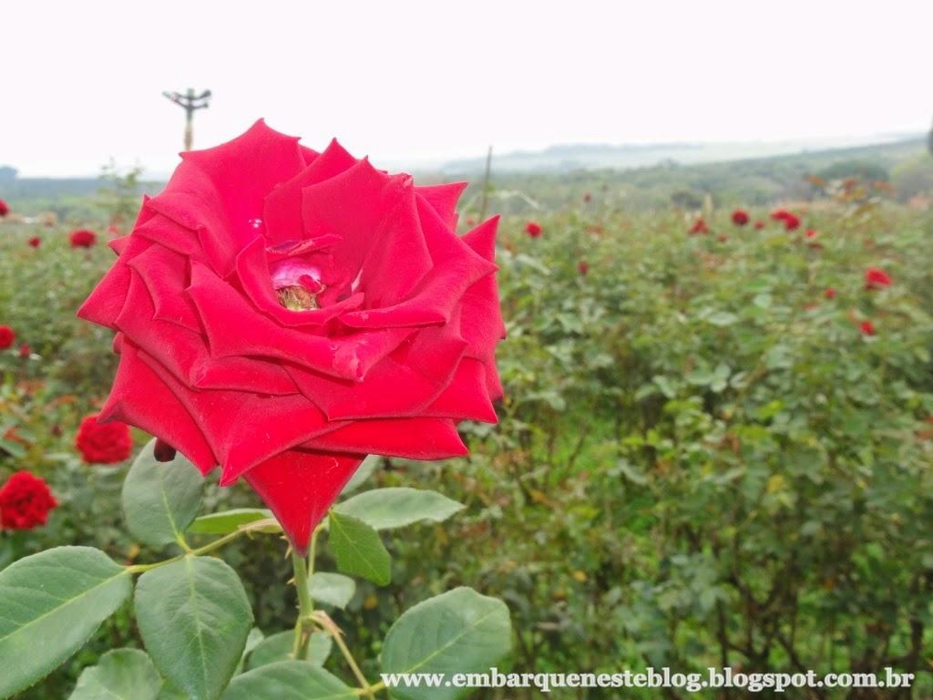 Campo de rosas em Holambra