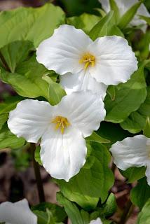 Trillium grandiflorum flower plant