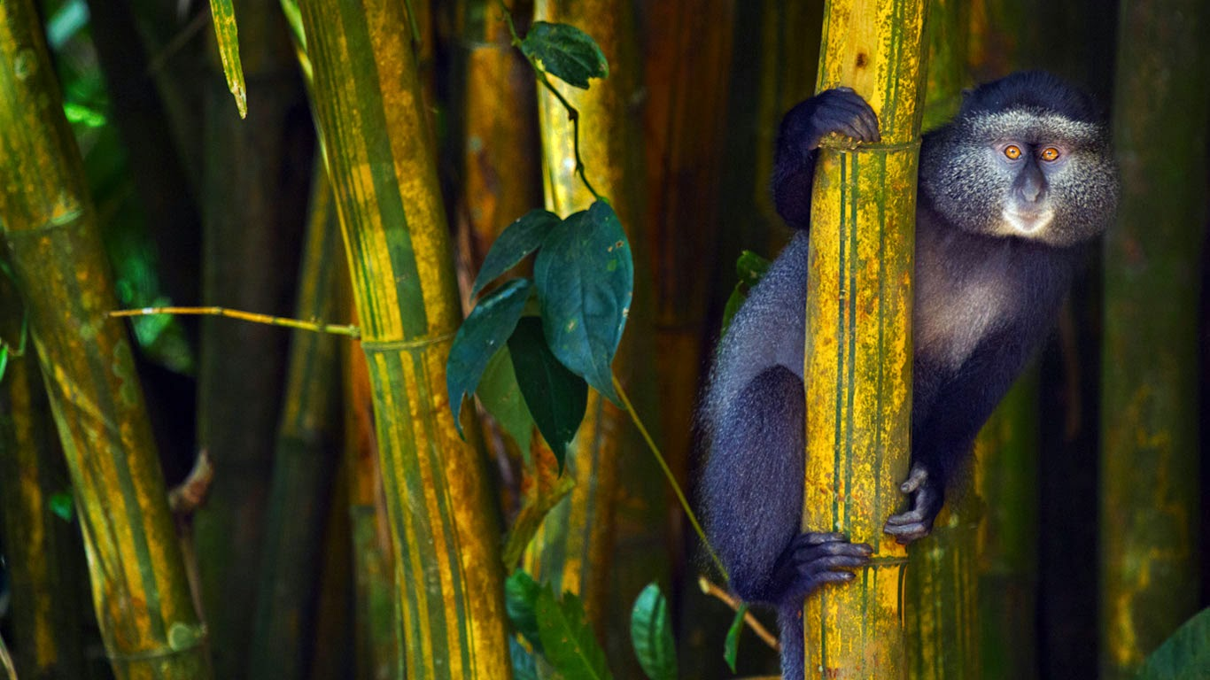 Blue monkey in the Kakamega Forest Reserve, Kenya (© Anup Shah/Minden Pictures) 556