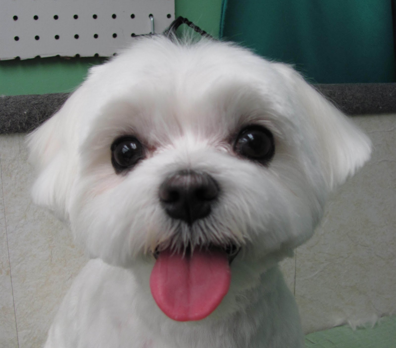 Search Results For Maltese Grooming Styles Pictures