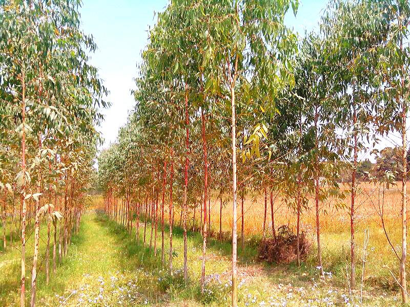 eucalyptus plant supplier