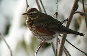 Redwing