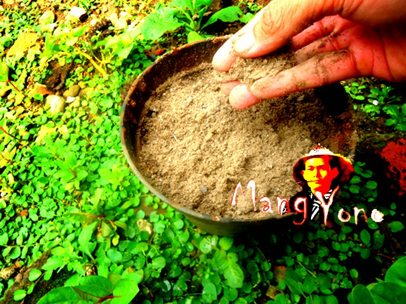 Gambar / poto No. 3. Taburkan / tutup biji semaian dengan  media tanah campur  arang sekam padi