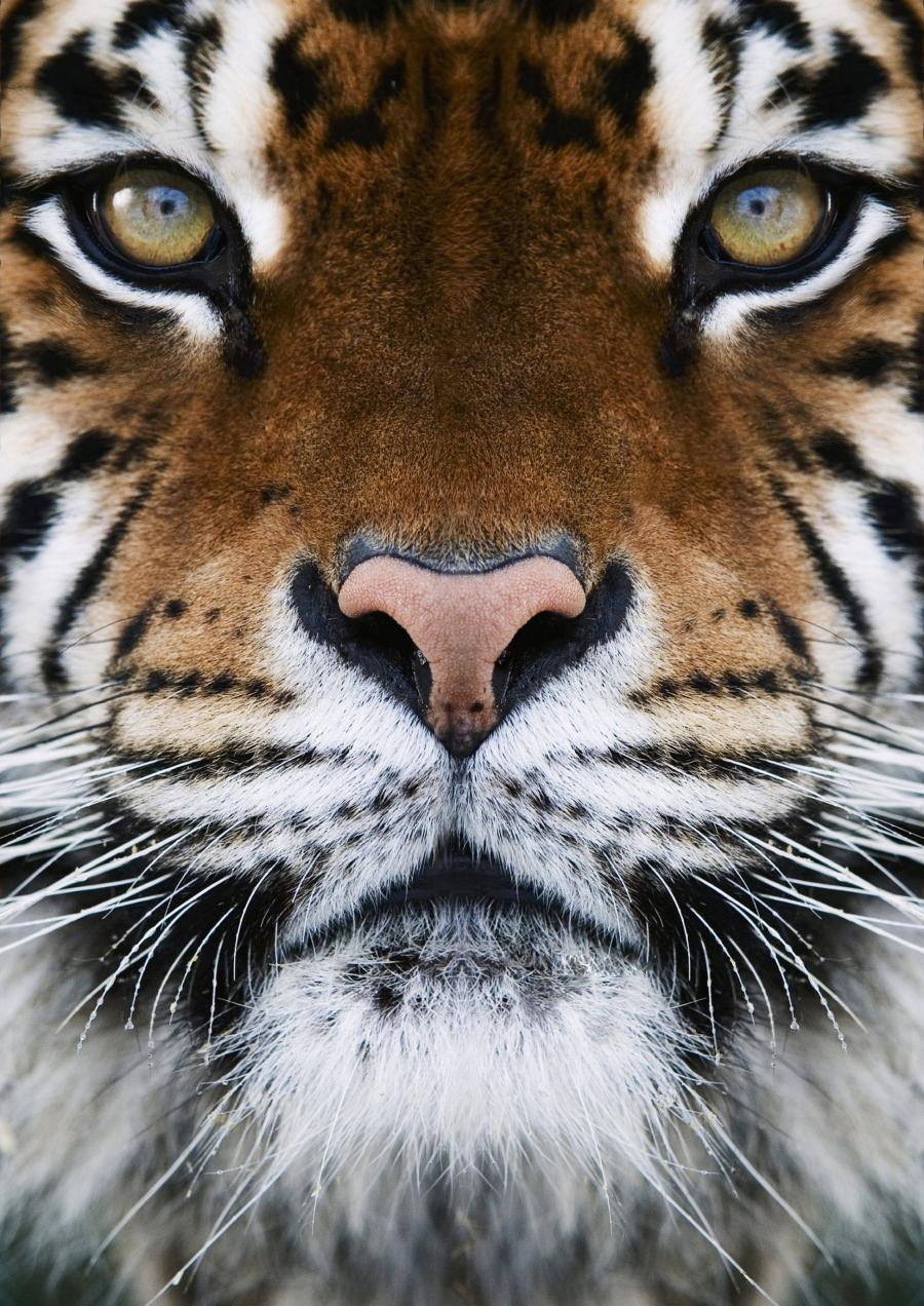 красивые картинки тигры