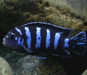 pombo rock demasoni cichlids