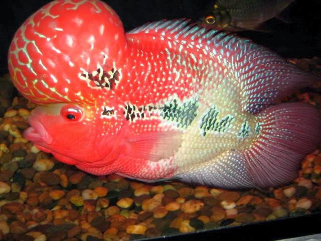 makanan ikan louhan