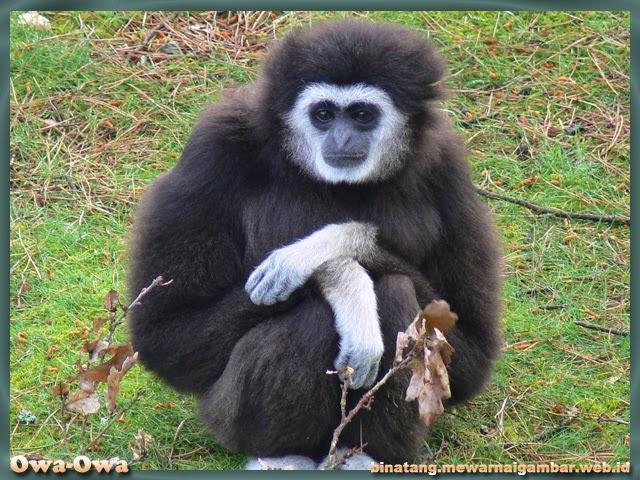 gambar binatang primata owa-owa