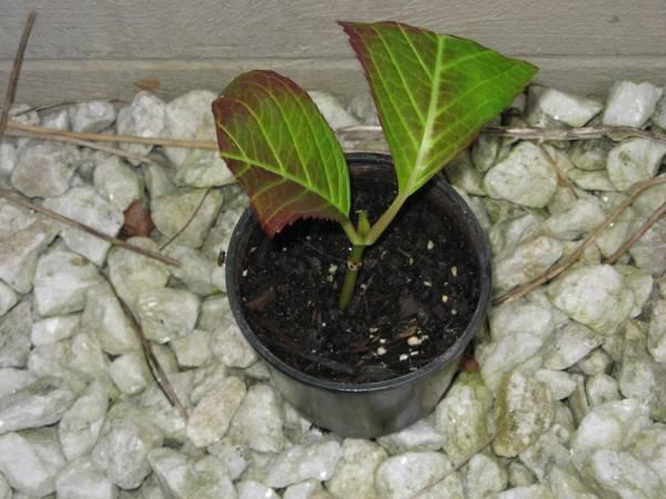 Plantas y flores plantas especies c mo propagar hydrangea - Semillas de hortensias ...