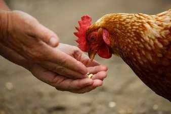 Alimentar gallinas en los sueños