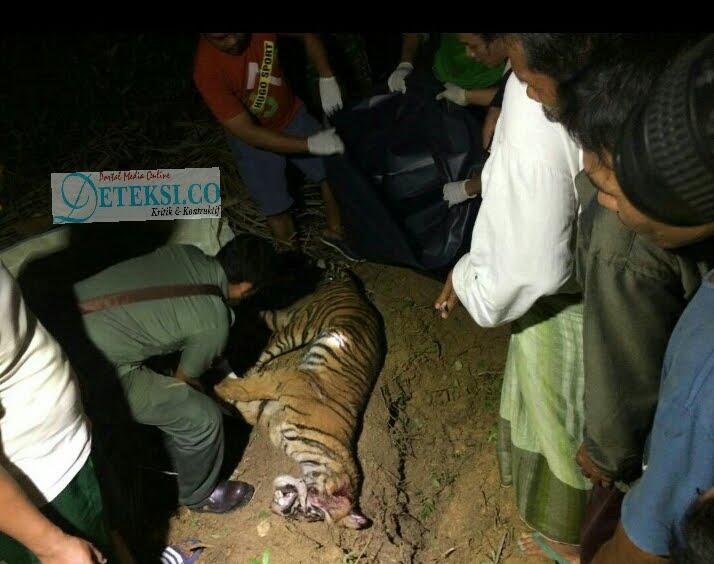 """Pecinta Lingkungan Kesal Harimau Sumatera Dibunuh, """" BKSDA Dimana ? """""""