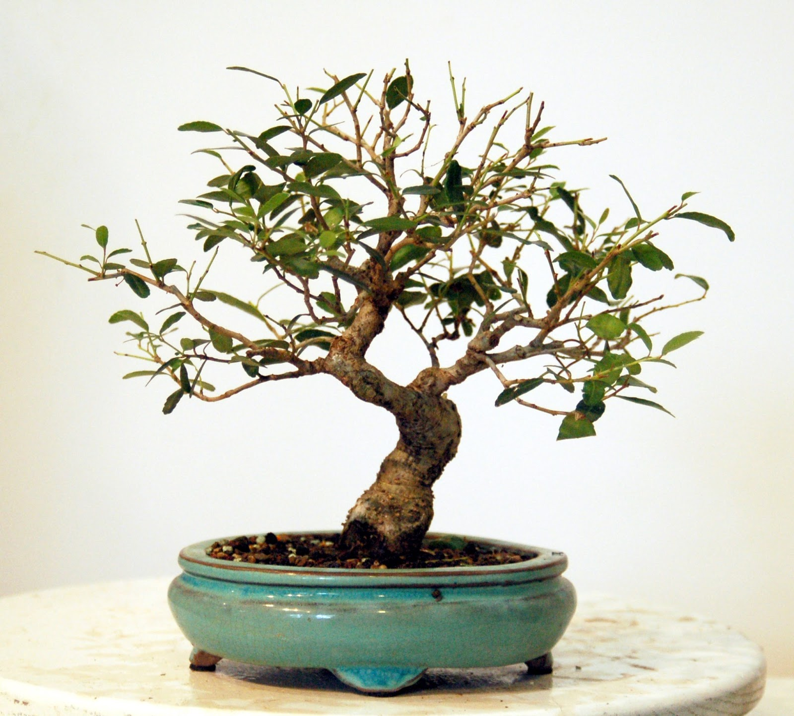 Heart Of Texas Bonsai July 2013