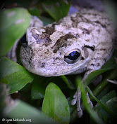 Pinewoods Treefrog