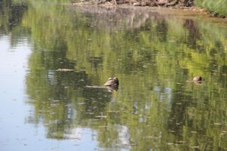 photo of turtle  sunning on a rock in the St. Croix River