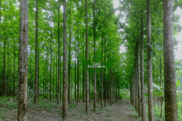 Pohon_Jati_Solomon