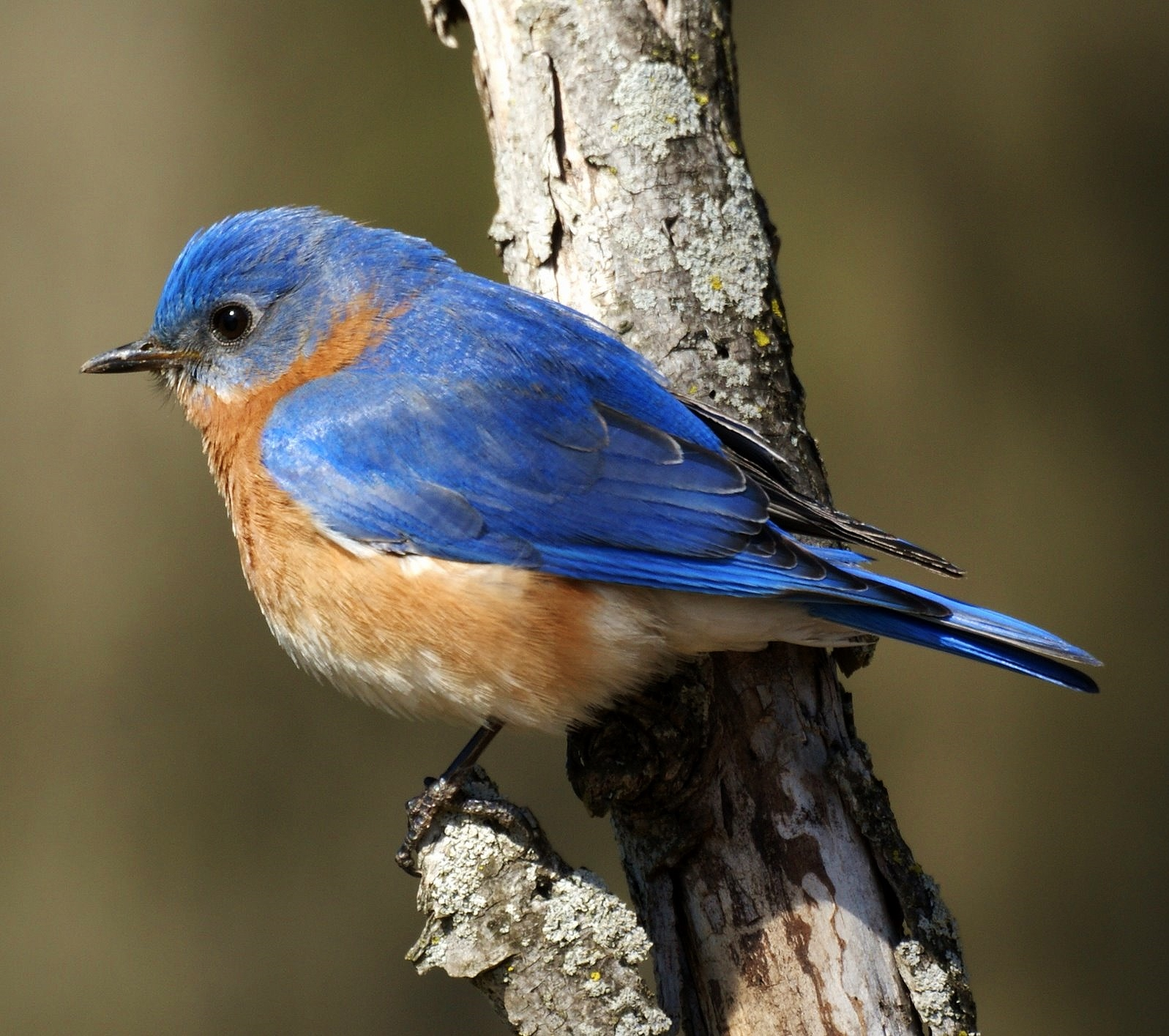 Blue bird - photo#1